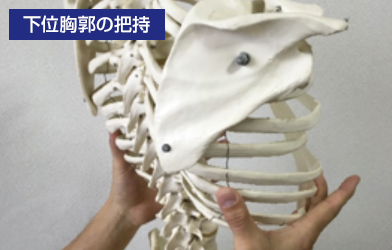 下位胸郭の把握
