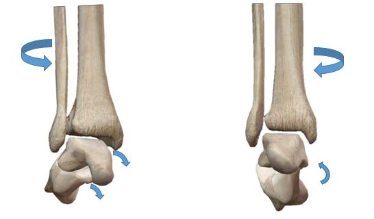 距骨下関節,動きの基礎,