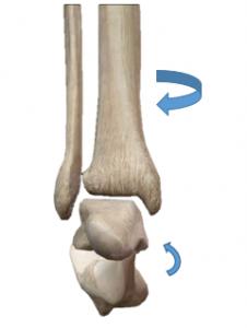 距骨下関節,回外,踵骨回外